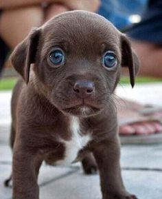 Huge Puppy Blue Eyes