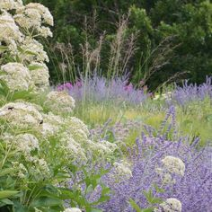 Eupatorium 'Bartered Bride' with Perovksia and Molinia 'Transparent' in the foreground with…""