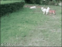 This dog who reached for the fences (of grass).