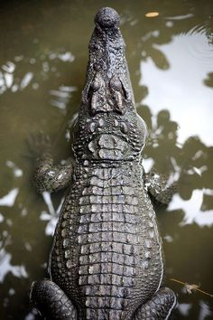 kerrytravel:  Young croc whiling away the day… | My Tho, Vietnam