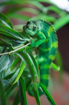 Meller's chameleon (T. melleri) awesome and unusual species. Reptiles And Amphibians, Mammals, Bristol Zoo, Lizard Dragon, Chameleon Lizard, Swimming Party Ideas, Crocodiles, Surf Style, Belle Photo