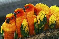 Conures are some of my favorite  little parrots. Beautiful plumage and very open to affection.