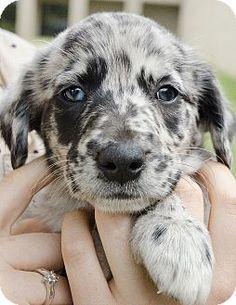 Briarcliff Manor, NY - Australian Shepherd Mix. Meet Ready Fri., June 12th, a puppy for adoption. http://www.adoptapet.com/pet/12995524-briarcliff-manor-new-york-australian-shepherd-mix
