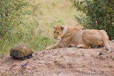 BeetleCam approaching a lioness.     Photos by Burrard-Lucas.com