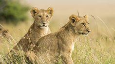 images lion cub   animal, lions, female-lion-cub-pictures, animal-photos, lions-photo ...