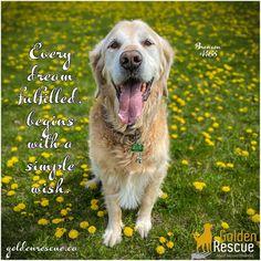Every dream fulfilled begins with a simple wish. Dream big! #goldenretriever #rescuedog #adoptdontshop #seniorsrock