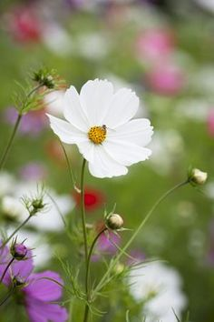 Cosmos 'Purity' - do you like this daisy-type flower? I grow these every year and the foliage is lovely and see-through.