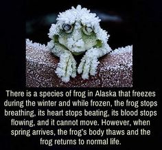 The Frog That Stops Breathing