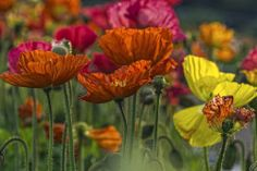 I love poppies. They are so easy to grow, come in almost every colour and  attract the most beautiful butterflies :)