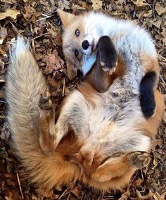 Foxes are not extras!