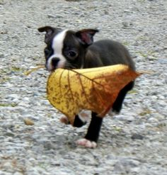Ruby the Boston Terrier from Waterloo, Indiana - Ruby loves playing with leaves! The bigger the better!  http://www.bterrier.com/ruby-the-boston-terrier-from-waterloo-indiana/  Like Boston Terrier Dogs Facebook page : http://www.facebook.com/bterrierdogs