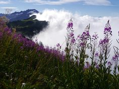 It's a tough life up in the mountains but some flowers thrive here. Pink fireweed up in the alpine meadows of Glacier Peak Wilderness, Washington. [OC][4608x3456] : EarthPorn
