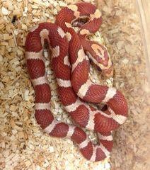 Crimson Cornsnake