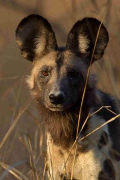 Claw -photograph by Dr Paul Funston Dog Facts, Animal Facts, My Animal, Animals Beautiful, Cute Animals, Wolf, African Wild Dog, Wild Dogs, Hyena