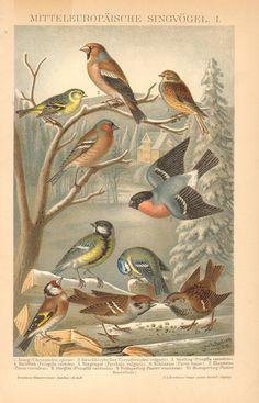 1894 Passerines, Pine Siskin, Common Grosbeak, Twite-finch, Chaffinch, Bullfinch, Great Tit, Blue Tit, Goldfinch Antique Chromolithograph