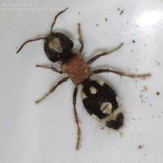 Ronisia barbarula. Hembra de Mutílido. Una abeja parásita que carece de alas.
