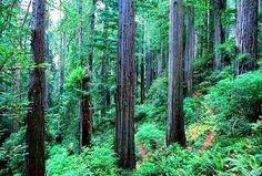 Redwood trees.