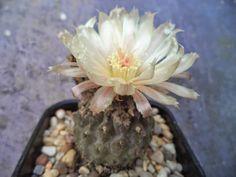 Succulent Sundae: ERIOSYCE NAPINA