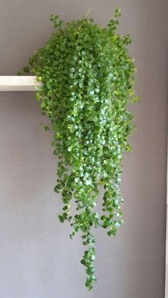 15 Beautiful Hanging Plants Ideas - House Plants - ideas of House Plants - Hanging plants creative ideas for hanging plants indoors and outdoors indoor outdoor hanging planter ideas Hanging Succulents, Hanging Planters, Succulents Garden, Garden Plants, Planting Flowers, Succulent Plants, Indoor Hanging Plants, Large Indoor Plants, Succulent Ideas