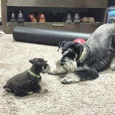#dogsandpuppies #minischnauzers #schnauzer Schnauzers, Miniature Schnauzer Puppies, Giant Schnauzer, Schnauzer Puppy, Standard Schnauzer, Cute Puppies, Cute Dogs, Photo Chat, Most Popular Dog Breeds