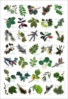 British Tree Leaves Identification Chart Nature Poster