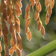 frame do documentário da série Curta Agroecologia - Arroz Ecológico: alimento iluminado