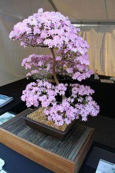 Chinnachami Chidambaram Bonsai blossom tree