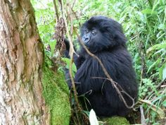 3-year-old male mountain gorilla Akarusho has passed away, due to a variety of wounds suffered since he left his mother's group on July 10. A medical intervention with the Mountain Gorilla Veterinary Project was conducted on Sept. 10.