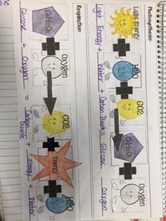 photosynthesis and respiration: foldable