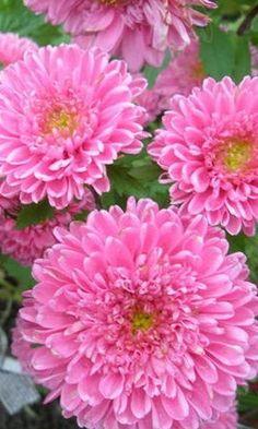 15 best aster flower images on pinterest aster flower bellis garden of aster flower mightylinksfo