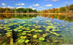 """""""Autumn Calm"""" Brockway Lake, Southern corner of Michigan's Manistee National Forest. Lily pads floating on the crystal clear water of Brockway Lake , Lower Michigan. Beautiful Photos Of Nature, Beautiful Nature Wallpaper, Nature Photos, Beautiful World, Beautiful Scenery, Beautiful Fish, Michigan, Iran Travel, Fish Wallpaper"""