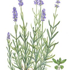 Narrow-leaved Lavender - Lavandula angustifolia