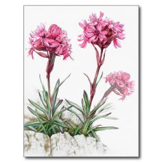 Alpine catchfly in watercolor postcard