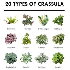 Succulent Pictorial Guide - 20 Types Of Crassula - Succulent Pictorial Guide – 20 Types Of Crassula The Effective Pictures We Offer You About garden - Types Of Succulents Plants, Types Of Plants, Cacti And Succulents, Planting Succulents, Planting Flowers, Succulents Drawing, Identifying Succulents, Succulents Wallpaper, Crassula Succulent