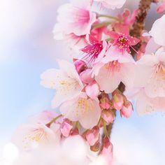 【hoku_x2】さんのInstagramをピンしています。 《さくら詰め合わせ * * つぼみから散ったあとまでの詰め合わせ さくらは8分咲きが1番きれいでつぼみも見ることができて好きです😌✨ * * #あたみ桜 #寒桜  #cherryblossoms #日本一早咲き #満開 #ザ花部 #team_jp_ #team_jp_flower #ig_japan #tokyocameraclub #東京カメラ部 #igs_world #bestjapanpics  #loves_nippon #loves_flowers #loves_blossoms #igersjp #icu_japan #wu_japan #igs_asia #myheartinshots #picture_to_keep #loves_garden #flowerstalking #igworldclub #instaflower #flowerstagram #wp_flower #はなまっぷ #ファインダー越しの私の世界》