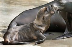 A week-old female sea lion pup, left, joins his mother Kallie on the deck of a pool at the Pittsburgh Zoo Sunday, June 19, 2011.