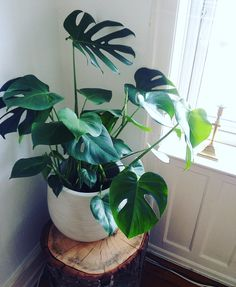 Philodendron, Monstera Deliciosa: Refinish wooden barrel and use as plant stand!