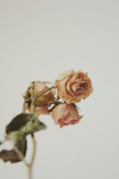Hey, I found this really awesome Etsy listing at https://www.etsy.com/listing/181480562/pink-dried-rosebuds-still-life-floral