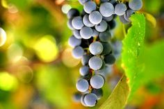 I can't wait for fall to come so I can make some grape juice from the HUGE Concord grape vine we have. There's nothing better than homemade grape juice. Step-by-step instructions with photos on how to make your own grape juice from scratch. Grape Recipes, Canning Recipes, Drink Recipes, Fruit Recipes, Yummy Recipes, Grape Juice, Fruit Juice, Juice Diet, Hooch