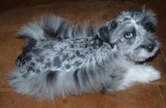 Blue Merle Schnauzer - A Miniature Schnauzer mixed with a Miniature Australian Shepherd. The new exotic designer breed, introduced in 2006. Love the blue eyes on this puppy!