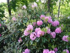 Alppiruusut - Rhododendron