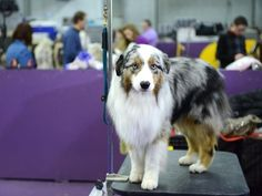 Australian shepherds are the most popular dog in the US, yet they've struggled to find the same popularity at Westminster. Australian Shepherd Puppies, Australian Shepherds, Labrador Names, Top Dog Breeds, Westminster Dog Show, Standard Schnauzer, Most Popular Dog Breeds, Shetland Sheepdog, Pembroke Welsh Corgi