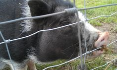 Little piggy, love this dude, we found down on the farm.