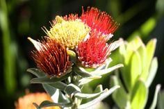 Glorious Wild Flowers of the Fynbos Trees To Plant, Wild Flowers, South Africa, Beautiful Flowers, African, Yellow, Places, Red, Flowers