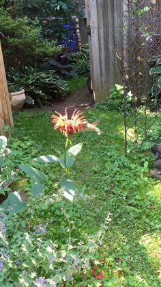 Hummingbird in my garden