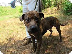 07/02/16 - HEART STICK FACITLITY - SUPER URGENT - Rome, GA - Mountain Cur Mix. Meet 16D-0783 (6/19), a dog for adoption. http://www.adoptapet.com/pet/15808987-rome-georgia-mountain-cur-mix