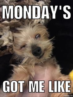 Yorkie Memes are the best!
