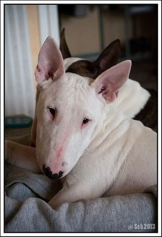 IMG_1382 by Madlab Bull Terrier on Flickr.
