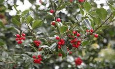 Image associée Christmas Berries, Fall Pictures, Mother Earth, Autumn, Flowers, Plants, Red, Image, Google Search