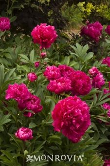 Karl Rosenfield peony. 1.5 to 2 feet tall. Sun. Blooms mid to late spring. Zones 4-8.